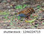 a rufous throated partridge ... | Shutterstock . vector #1246224715