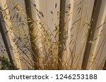 dried avena fatua common wild... | Shutterstock . vector #1246253188