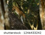 leopard mammal animal cat | Shutterstock . vector #1246433242