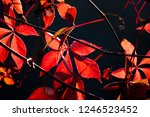 red autumn leaves on black... | Shutterstock . vector #1246523452