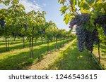 grape harvest italy   Shutterstock . vector #1246543615