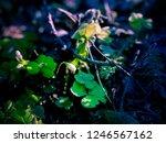 fragile bud of wood sorrel ... | Shutterstock . vector #1246567162