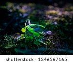 fragile bud of wood sorrel ... | Shutterstock . vector #1246567165