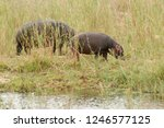 rhinoceros in the park kruger... | Shutterstock . vector #1246577125