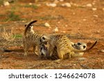group of meerkat  suricata... | Shutterstock . vector #1246624078