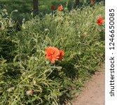 Common Poppy Wild Flower ...