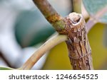rubber fig's big smooth green... | Shutterstock . vector #1246654525