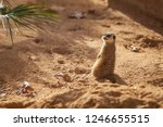 meerkat sentinel on red sand ... | Shutterstock . vector #1246655515