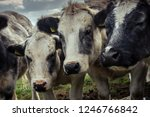 curious shaggy cows huddled...   Shutterstock . vector #1246766842