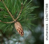 A Pine Cone On A Green Branch...