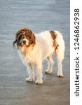shaggy black and white dog with ...   Shutterstock . vector #1246862938