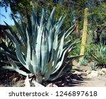 century plant cactus in the... | Shutterstock . vector #1246897618