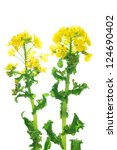 Rape Blossoms Isolated On Whit...