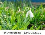 nowdrop spring flowers....   Shutterstock . vector #1247032132