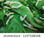 The Silkworm Is The Larva Or...