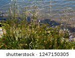 avena fatua a common wild oats... | Shutterstock . vector #1247150305