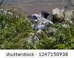 nesting seagulls in the rocks ... | Shutterstock . vector #1247150938