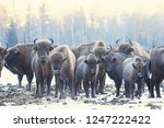Aurochs Bison In Nature  ...