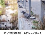 flock of pigeons in nature in a ... | Shutterstock . vector #1247264635