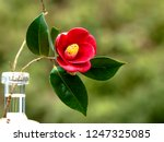 Camellia. Vase For One Flower.