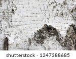 pattern of birch bark with...   Shutterstock . vector #1247388685