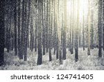 Bright Sunny Pine Forest In The ...