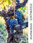 ripe grapes on the vine   Shutterstock . vector #1247465212