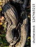old grapevine in the vineyard   Shutterstock . vector #1247465215