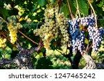 ripe grapes on the vine   Shutterstock . vector #1247465242