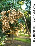longan orchards   tropical... | Shutterstock . vector #1247665042