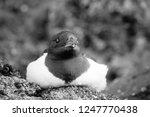 portrait of dovekey  plautus... | Shutterstock . vector #1247770438