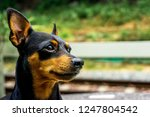 the lovely young dog   close up ... | Shutterstock . vector #1247804542