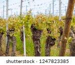 closeup detail of grapevine...   Shutterstock . vector #1247823385