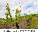wide closeup of grapevine...   Shutterstock . vector #1247823388