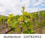 wide closeup detail of grape...   Shutterstock . vector #1247823412
