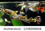 Guppy Multi Colored Fish