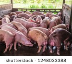 breeder pink pigs on a farm in... | Shutterstock . vector #1248033388