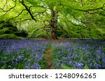 bluebells flowering under the... | Shutterstock . vector #1248096265