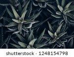 haworthia fasciata in dark...   Shutterstock . vector #1248154798
