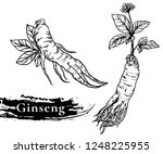 ginseng vector drawing. medical ... | Shutterstock .eps vector #1248225955