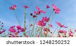 cosmos flower. sulfur cosmos.... | Shutterstock . vector #1248250252