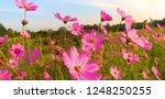 cosmos flower. sulfur cosmos.... | Shutterstock . vector #1248250255