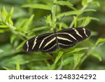zebra longwing butterfly ...   Shutterstock . vector #1248324292