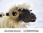 close up of a domestic sheep...   Shutterstock . vector #124844566