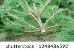 felled  christams trees  firs ... | Shutterstock . vector #1248486592