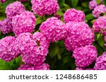 Small photo of A telltale sign of summer. Hydrangea blossom on sunny day. Blossoming flowers in summer garden. Flowering hortensia plant. Pink hydrangea in full bloom. Showy flowers in summer.