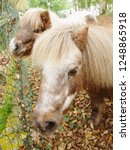 two ponies  close up  shetland... | Shutterstock . vector #1248865918