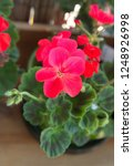geranium zonal  pelargonium... | Shutterstock . vector #1248926998