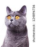 Gray Shorthair British Cat Wit...
