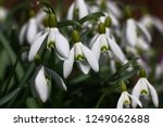 big group of white graceful... | Shutterstock . vector #1249062688